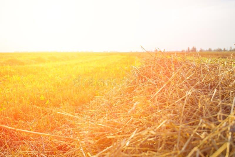 Campo de trigo de inclinação iluminado pelo sol no por do sol fotos de stock royalty free