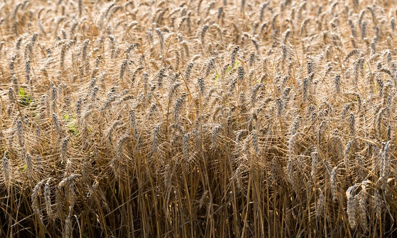 Campo de trigo listo para la cosecha fotografía de archivo