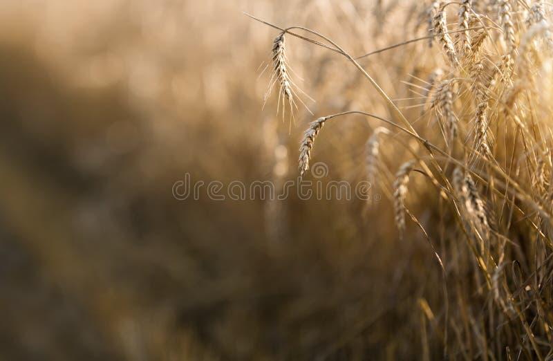Campo de trigo listo para la cosecha foto de archivo libre de regalías
