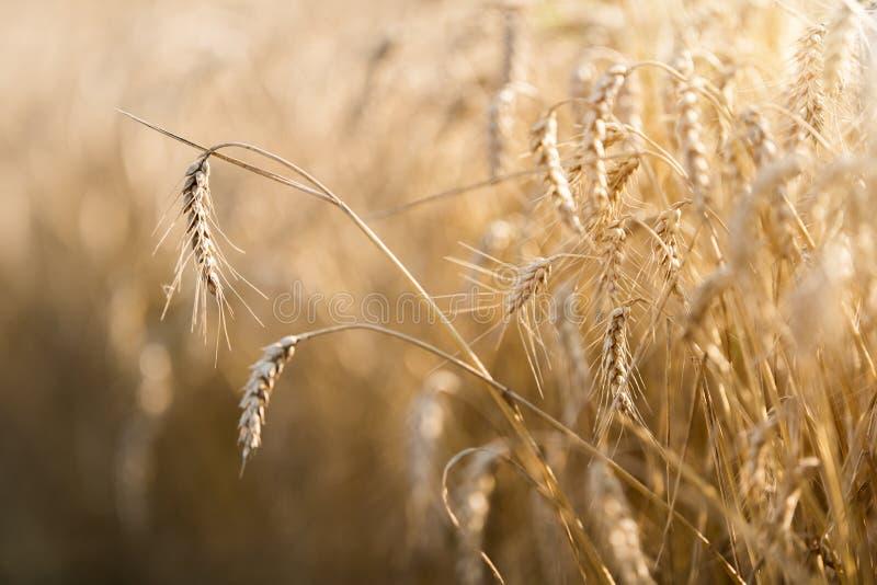 Campo de trigo listo para la cosecha foto de archivo