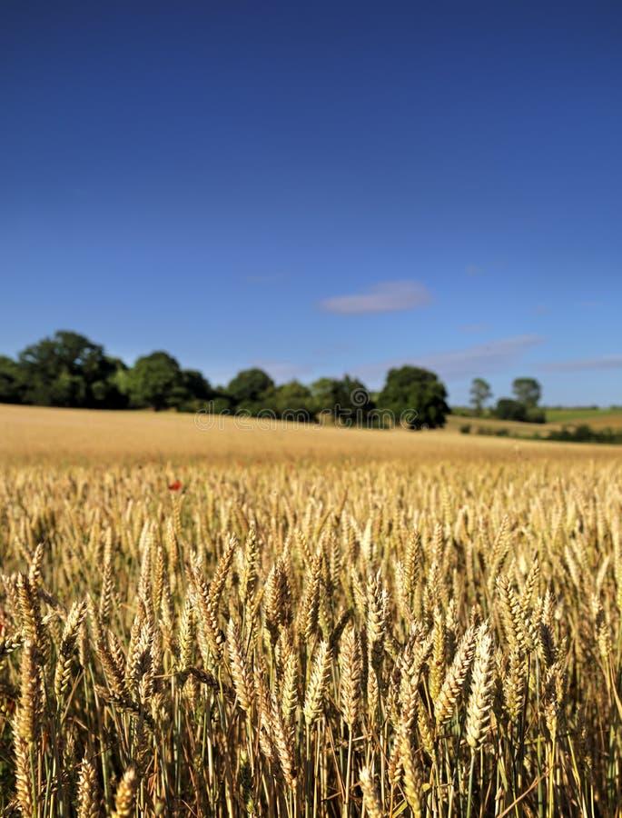 Campo de trigo maduro imágenes de archivo libres de regalías