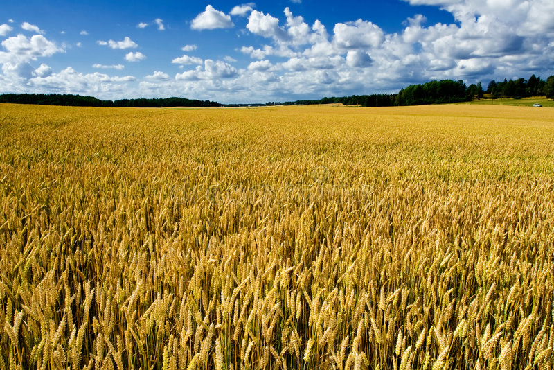 Campo de trigo maduro foto de stock royalty free