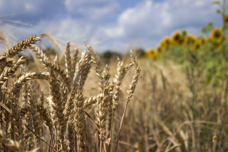 Campo de trigo maduro contra um céu azul, dia de verão ensolarado pontos imagens de stock royalty free