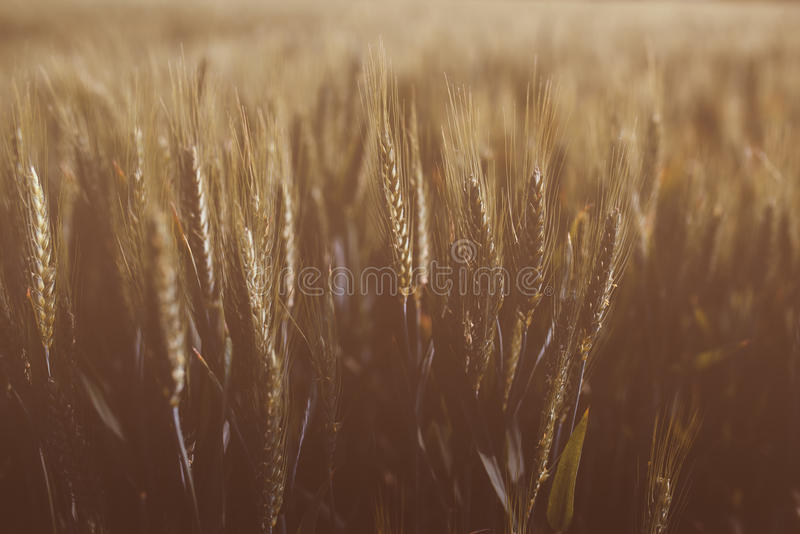 Campo de trigo maduro tonificado retro imagem de stock royalty free
