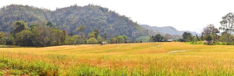 Campo de trigo na estação da colheita imagem de stock royalty free