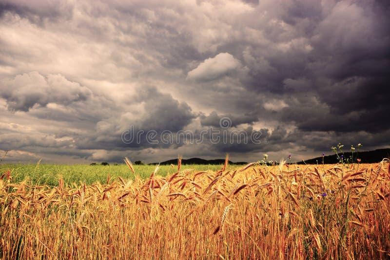 Campo de trigo na frente da tempestade foto de stock