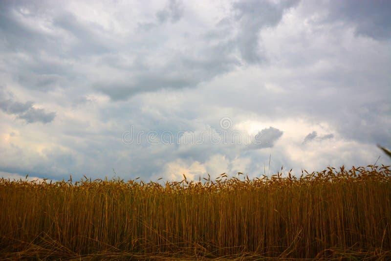 Campo de trigo na frente da tempestade imagem de stock royalty free