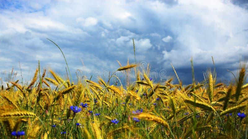 Campo de trigo na frente da tempestade fotos de stock royalty free