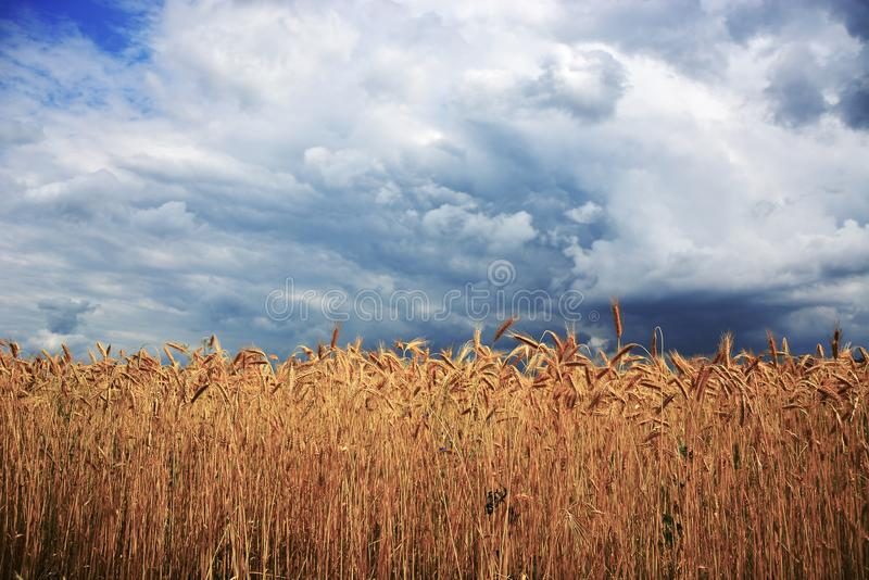 Campo de trigo na frente da tempestade foto de stock royalty free