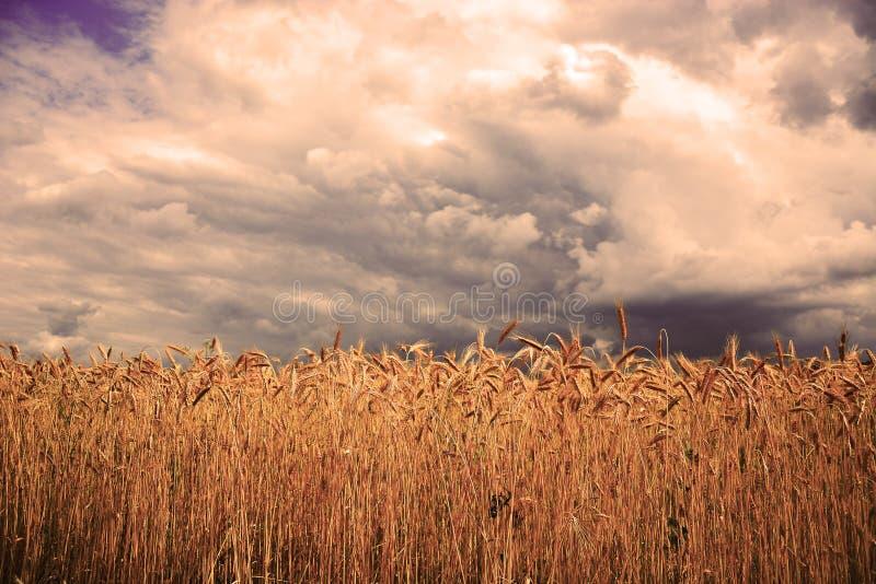 Campo de trigo na frente da tempestade imagens de stock royalty free