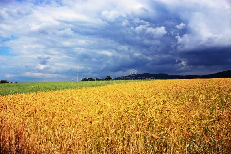 Campo de trigo na frente da tempestade imagens de stock