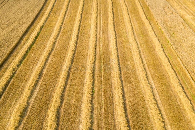 Campo de trigo no tempo de colheita fotos de stock