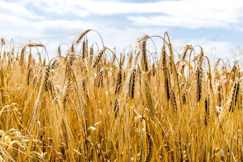 Campo de trigo, oídos imagenes de archivo