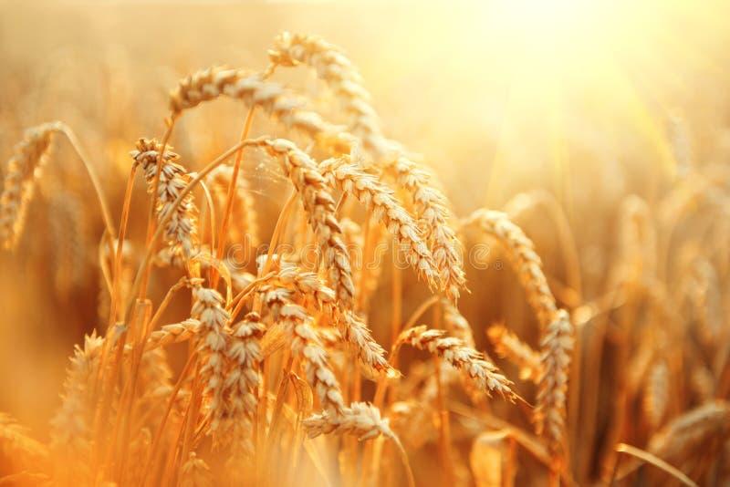 Campo de trigo Orelhas do close up dourado do trigo fotografia de stock
