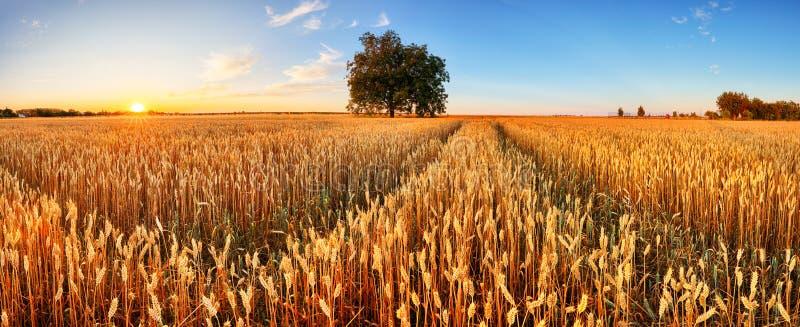 Campo de trigo Orelhas do fim dourado do trigo acima Cen?rio rural bonito sob a luz solar de brilho e o c?u azul Fundo do amadure fotos de stock