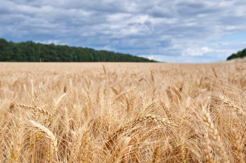 Campo de trigo Orelhas do fim dourado do trigo acima Fundo das orelhas de amadurecimento do campo de trigo do prado imagens de stock royalty free