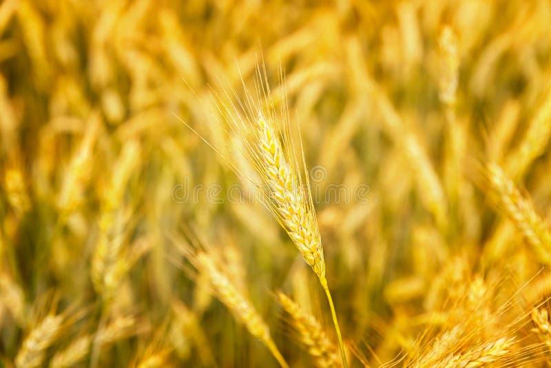 Campo de trigo Orelhas do fim dourado do trigo acima Fundo das orelhas de amadurecimento do campo de trigo do prado Conceito rico fotografia de stock