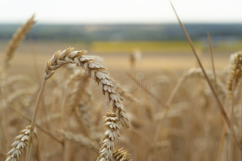 Campo de trigo Orelhas do fim dourado do trigo acima Natureza bonita Fundo das orelhas de amadurecimento do campo de trigo do pra imagem de stock royalty free