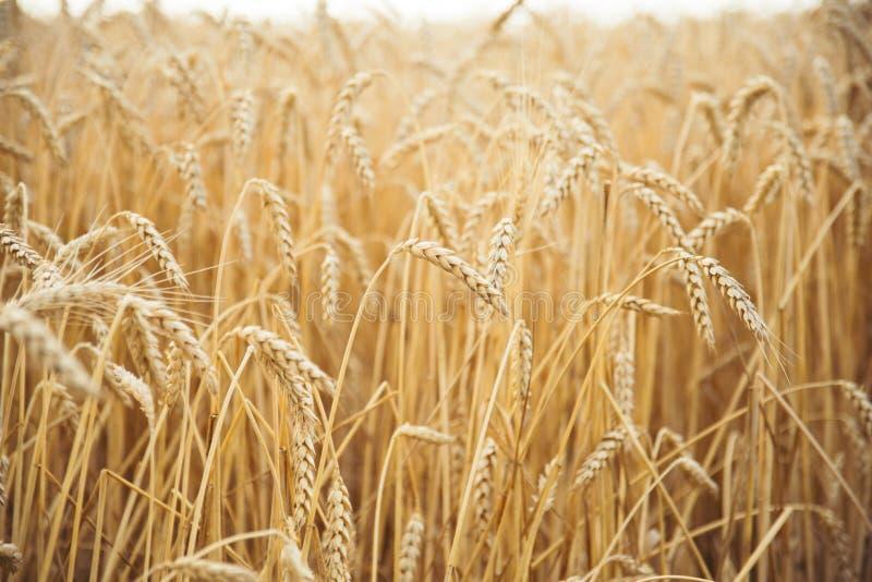 Campo de trigo Orelhas do fim dourado do trigo acima Paisagem bonita do por do sol da natureza Cen?rio rural sob a luz solar de b fotos de stock
