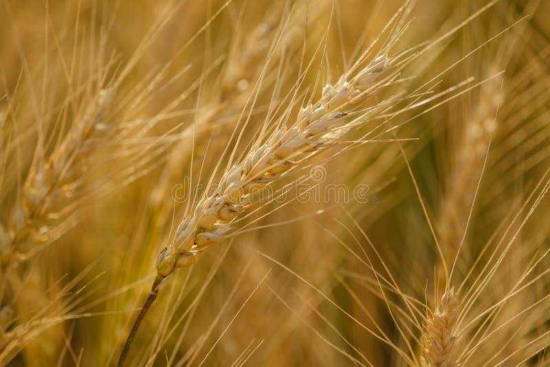 Campo de trigo Orelhas do fim dourado do trigo acima Paisagem bonita do por do sol da natureza Cen?rio rural sob a luz solar de b fotografia de stock