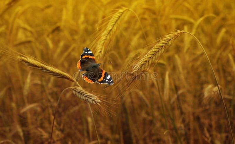Campo de trigo Orelhas do fim dourado do trigo acima fotos de stock royalty free