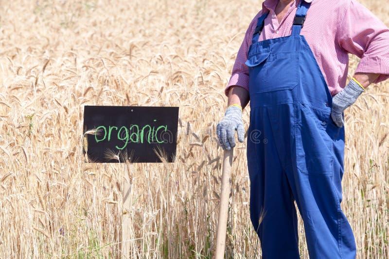 Campo de trigo orgânico imagens de stock