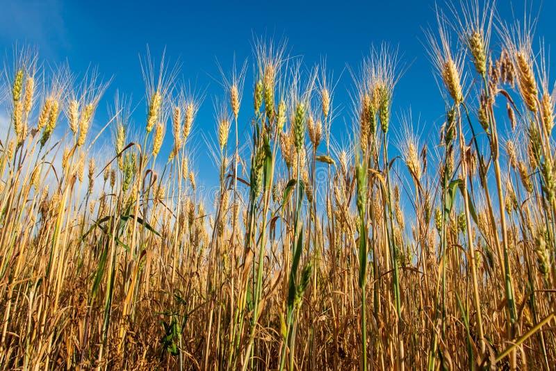 Campo de trigo de oro del color contra el cielo azul imagen de archivo libre de regalías
