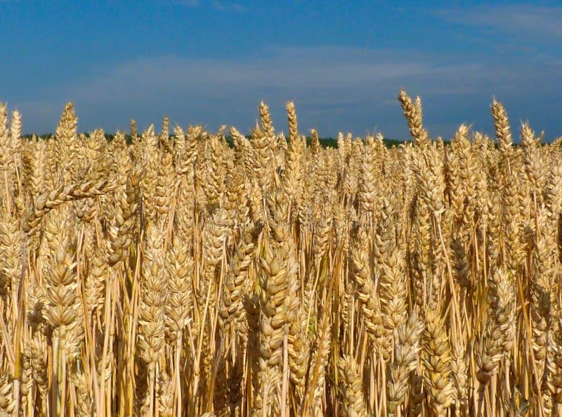 Campo de trigo de oro en el primero plano y hilera de árboles verde borrosa en una distancia fotos de archivo