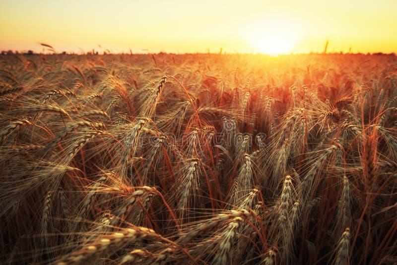 Campo de trigo. Os ouvidos do trigo dourado fecham. Paisagem do Sunset da Natureza Bonita. Cenário rural sob luz solar brilhante. imagens de stock royalty free