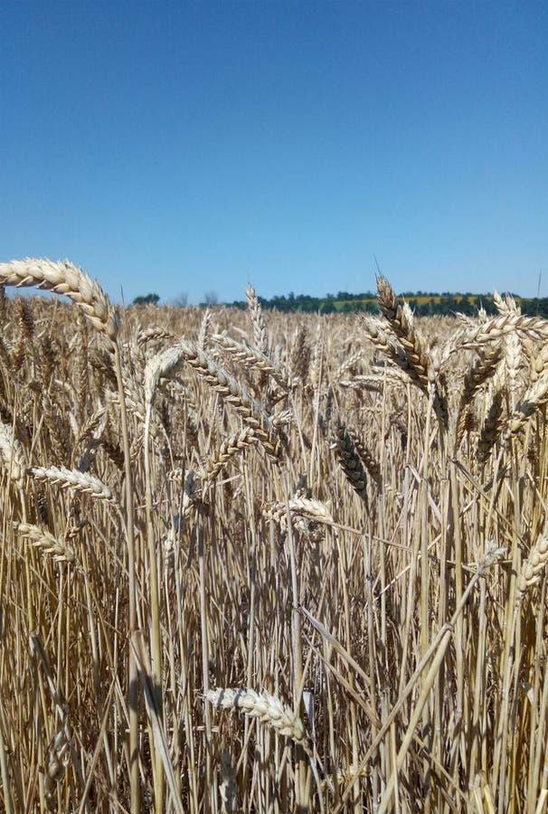 Campo de trigo Os Spikelets fecham-se acima No horizonte, o céu azul imagem de stock