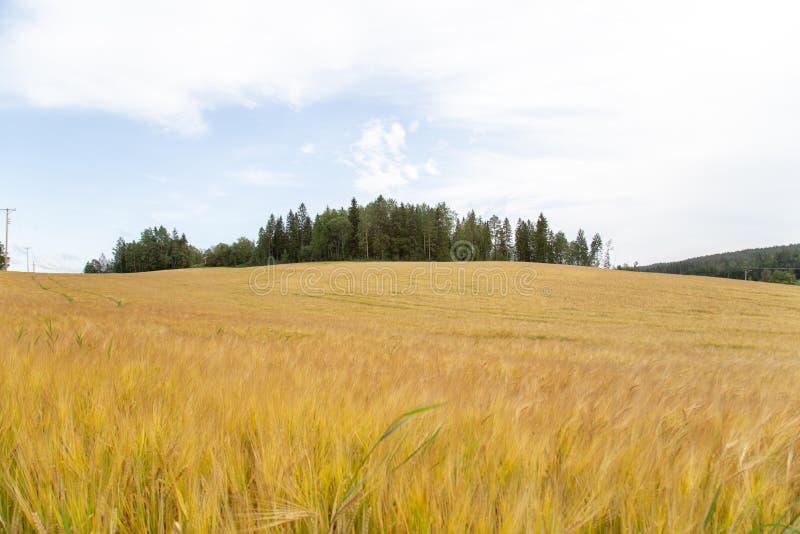 Campo de trigo para corregir imagen fotos de archivo libres de regalías