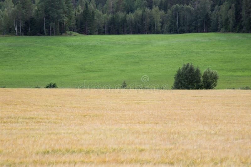 Campo de trigo para corregir imagen fotos de archivo