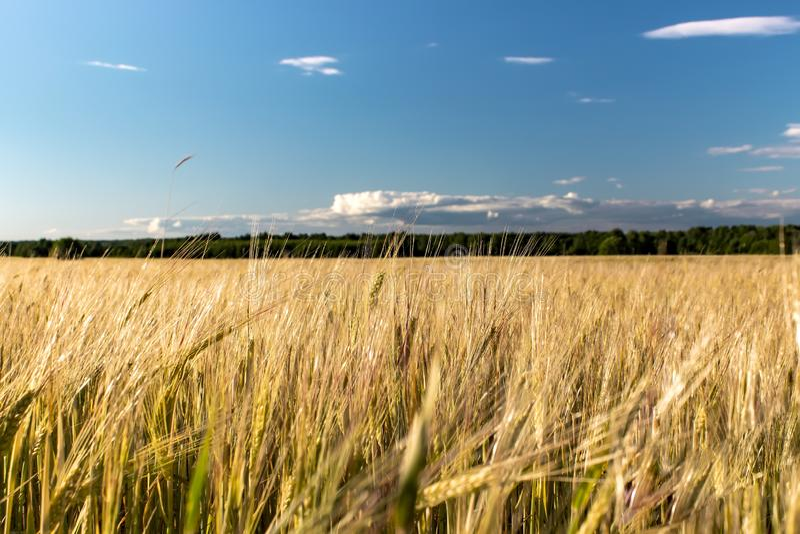 Campo de trigo rural bonito da paisagem Dia ensolarado imagem de stock royalty free