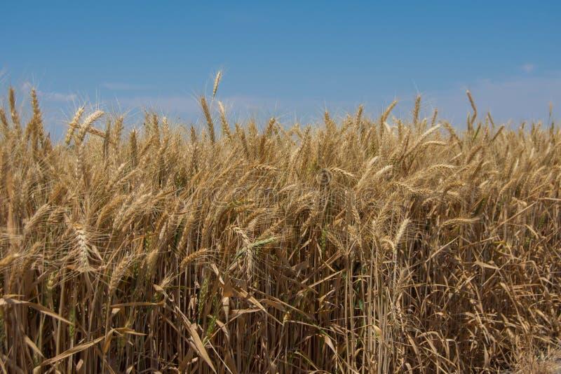 Campo de trigo seco fotografía de archivo