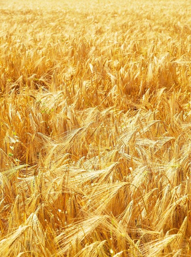 Campo de trigo sob a luz fotos de stock royalty free
