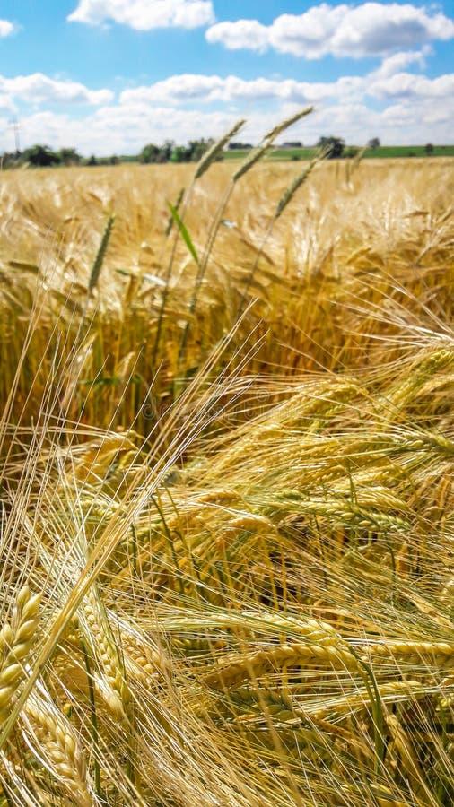 Campo de trigo sob o céu do verão com nuvens agradáveis imagem de stock
