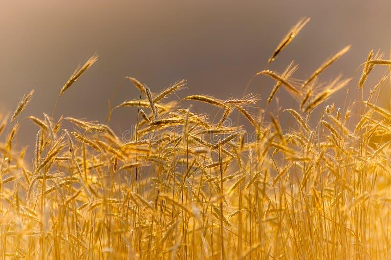 Campo de trigo sob o por do sol imagem de stock