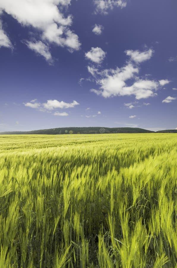 Campo de trigo sob um céu nebuloso azul fotografia de stock