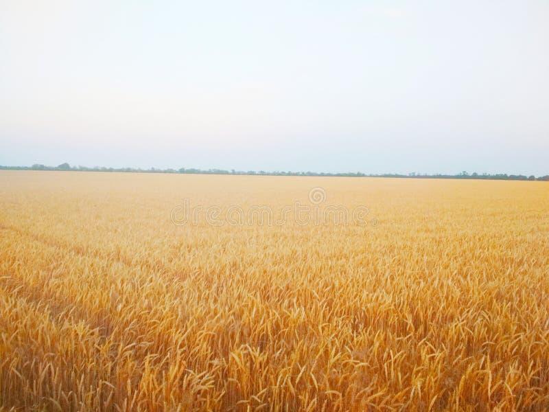 Campo de trigo Verano hermoso imágenes de archivo libres de regalías