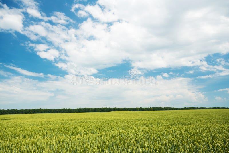 Download Campo de trigo verde foto de archivo. Imagen de farmland - 44854676