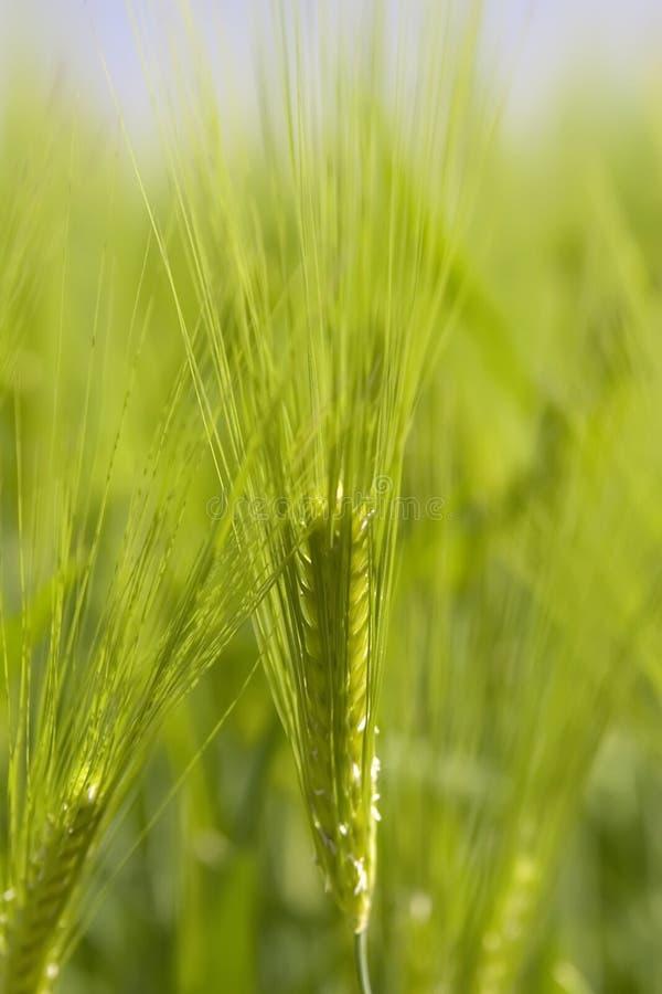 Campo de trigo verde fotografia de stock royalty free