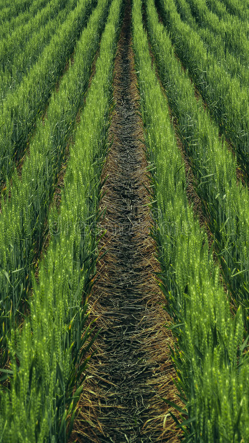 Campo de trigo verde imágenes de archivo libres de regalías