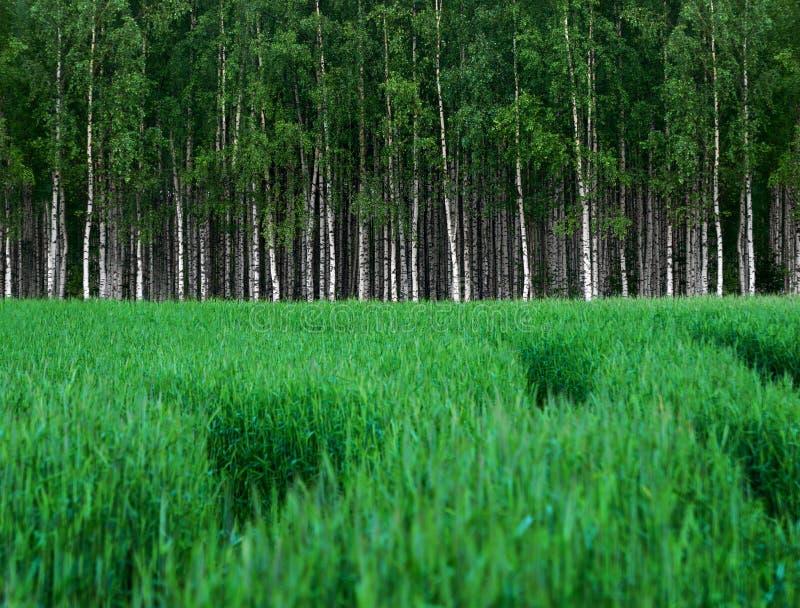Campo de trigo verde con la arboleda de los árboles de abedul foto de archivo