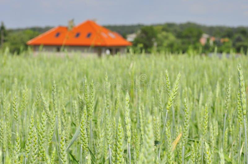 Campo de trigo verde con una casa imagenes de archivo