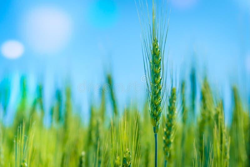 Campo de trigo verde da foto Cultivo de colheitas de grão fotos de stock royalty free
