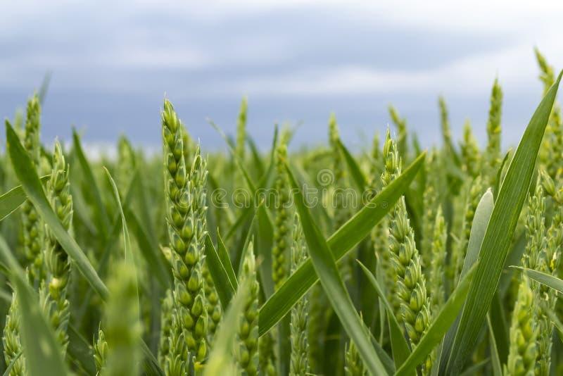 Campo de trigo verde en el día soleado imagenes de archivo