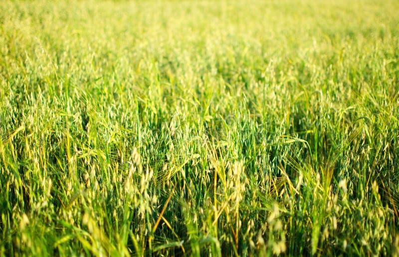 Campo de trigo verde en el día soleado fotografía de archivo