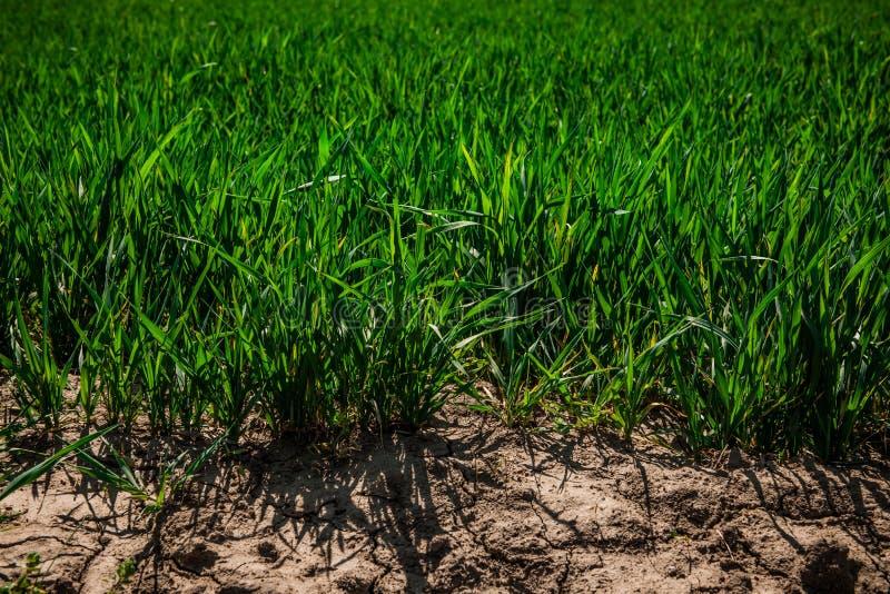Campo de trigo verde en el sol de la primavera Hierba verde del trigo fotografía de archivo