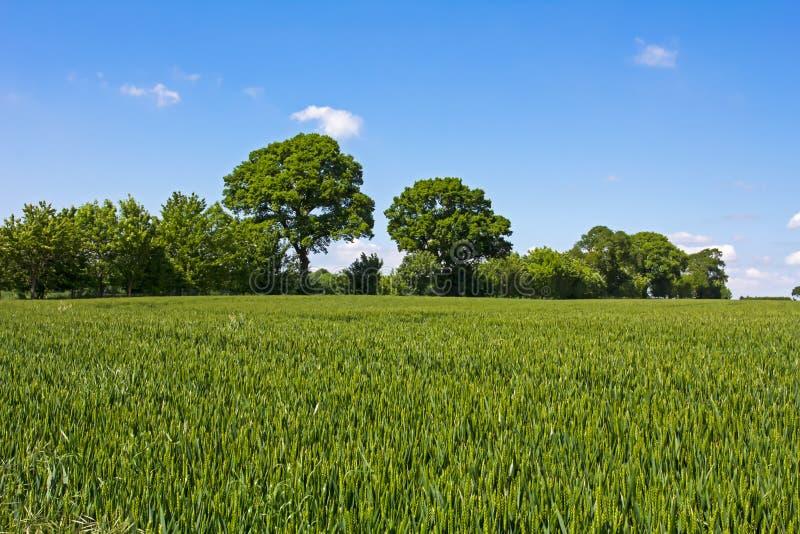 Campo de trigo verde en Inglaterra fotografía de archivo