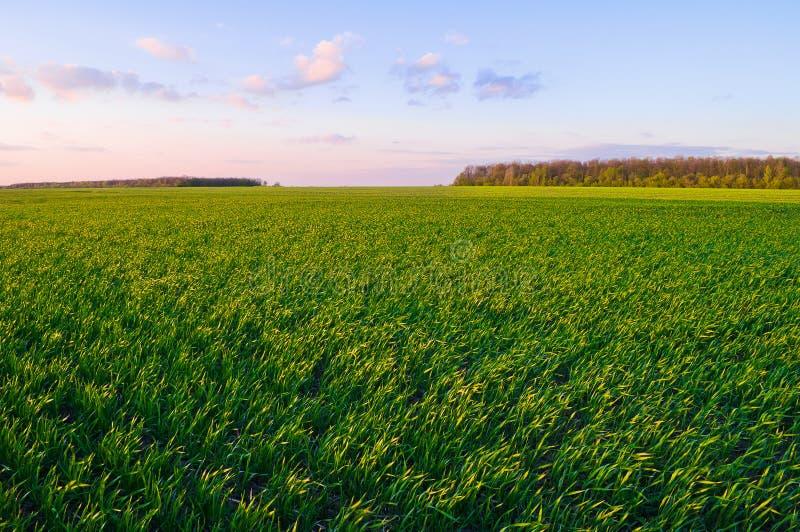 Campo de trigo verde en primavera temprana debajo del cielo azul foto de archivo libre de regalías